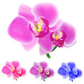 Four colored orchids isolated on white background. Royalty Free Stock Photography