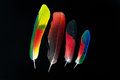 Four colorful parrot bird feathers on black Royalty Free Stock Photo