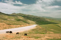 Four cows graze near the rural road in the mountains at the bright day Royalty Free Stock Photo