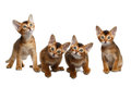 Four Cute Abyssinian Kitten Sitting on Isolated White Background Royalty Free Stock Photo