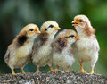 Four of cute chicks Royalty Free Stock Photo
