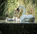 Four cygnets swimming with adult swan keeping watch at lock edge Royalty Free Stock Photo