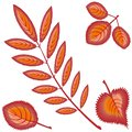 Four different autumn orange or red leaves - rowan, maple, birch, aspen - on a white background. Pattern, seamless texture Royalty Free Stock Photo