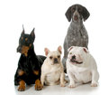 Four different breeds sitting isolated on white background doberman french bulldog german shorthaired pointer english bulldog Royalty Free Stock Images