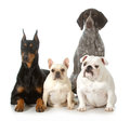Four different purebred dogs looking at viewer isolated on white background doberman pinscher french bulldog german shorthaired Royalty Free Stock Photos