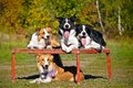 Four dogs border collie portrait