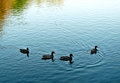 Four ducks slide on blue water of a pond Royalty Free Stock Photo