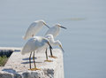 Four Egrets Hunting Stock Photo