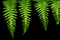 Four Fern Leaves Royalty Free Stock Photo