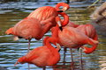Four flamingos preening while standing in shallow water Stock Photography