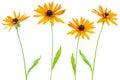 Four flower yellow coneflower Royalty Free Stock Photo