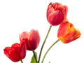 Four flowers spring tulips isolated on white Royalty Free Stock Image