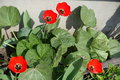 Four fully opened red tulips among burdocks