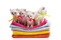 Four furry grey kitten with blue eyes on multicoloured towels on white background Stock Images
