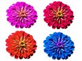 Multicolored gerbera on a transparent background