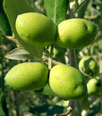 Four green olives tree Royalty Free Stock Photo