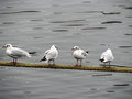 Four gulls birds on a mooring cable Stock Image