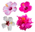Four hibiscus flowers Royalty Free Stock Photo