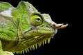 Four horned chameleon trioceros quadricornis the spectacular is an inhabitant from the rain forests of cameroon and nigeria Stock Image