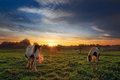 Four Horses in Field at Sunset Royalty Free Stock Photo