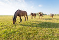 Four horses in sequence brown standing and grazing a row a sunny meadow summertime Stock Images