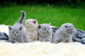 Four kitten on white blanket Royalty Free Stock Photo