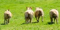 Four Lambs' Bottoms Royalty Free Stock Photo