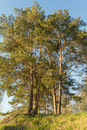 Four large pine trees grow on a forest hill and are lit by the rays of the setting sun Royalty Free Stock Photo