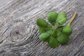 Four leaf clover on grey wooden background Royalty Free Stock Photos