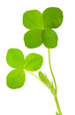 Four leaf clover on white Stock Photography