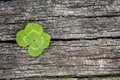Four leaf clover a on wood Stock Photography
