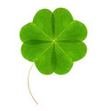 Four leaf green clover isolated on white background Royalty Free Stock Photo