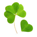 Four leaf green clover isolated on white background Royalty Free Stock Image