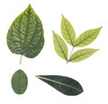 Four leaves. Royalty Free Stock Photo