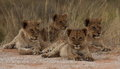 Four lion cubs for resting after a play session Stock Photo