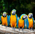 Four macaw sitting Stock Photo