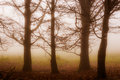 Four massive solitary trees in the misty morn Stock Images