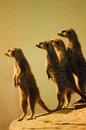 Four Meerkats on Alert Royalty Free Stock Photo