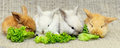 Four newborn rabbits eat green leaf lettuce on burlap fabric Royalty Free Stock Photography