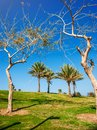 Four palm trees on a hill in the park Israel. Recreation area, recreation, urban space, nature Royalty Free Stock Photo