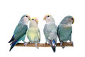 Four Peach-faced Lovebirds isolated on white Stock Images