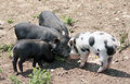 Four piglets group of small search for food outside in the sunshine Stock Photography
