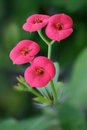 Four pink flowers against green background crown thorns euphorbia milii Stock Photography