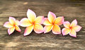 Four plumeria flowers Royalty Free Stock Photo