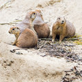 Four prairie dogs sitting together and watching square Stock Photo