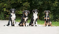 Four puppies border collie summer mounths Royalty Free Stock Image