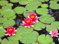 Four pygmy waterlily bloom in green round leafs. Royalty Free Stock Photo