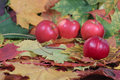 Four red apples on autumn leaves Stock Images