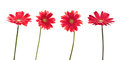 Four red daisies (gerbera) flowers Royalty Free Stock Photo