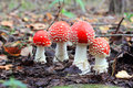 Four red fly agaric Royalty Free Stock Photo